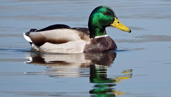 Duck Swimming - Free Stock Photo