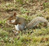 Free Photo - Gray Squirrel