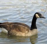 Free Photo - Goose Swimming