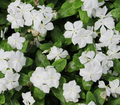 Periwinkle Flowers - Free Stock Photo