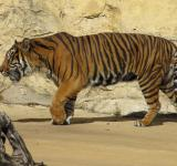 Free Photo - Sumatran Tiger