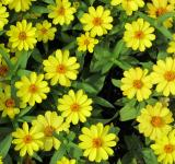 Free Photo - Yellow Daisies