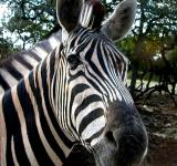 Free Photo - Zebra Closeup