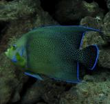 Free Photo - Angel Fish