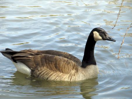 Canadian Goose - Free Stock Photo