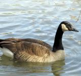 Free Photo - Canadian Goose