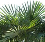 Free Photo - Fan Palm