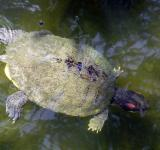 Free Photo - Turtle Swimming