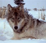 Free Photo - Wolf Closeup