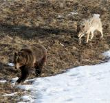 Free Photo - Wolf Behind Grizzly