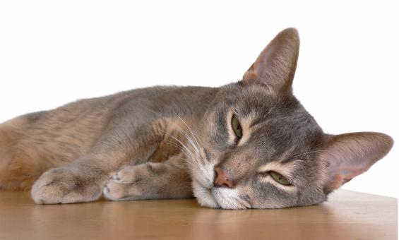 Abyssinian Cat - Free Stock Photo