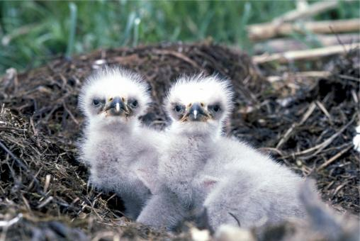 Baby Eagles - Free Stock Photo