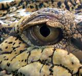 Free Photo - Crocodile Eye