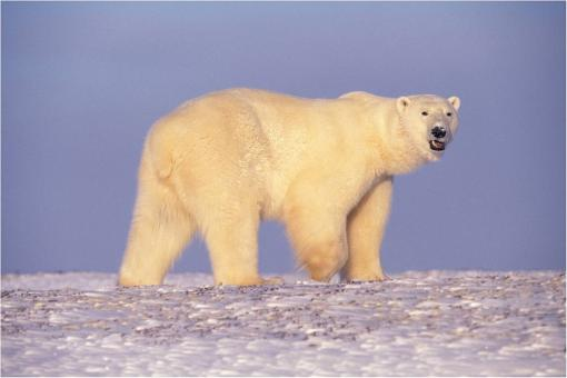 Polar Bear - Free Stock Photo