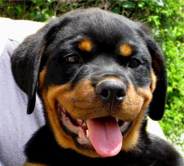 Rottweiler - Free Stock Photo