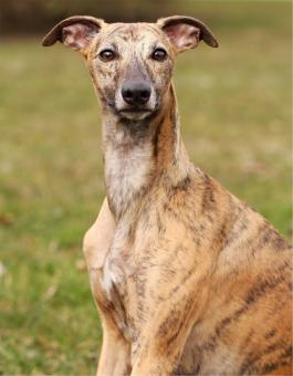 Whippet - Free Stock Photo