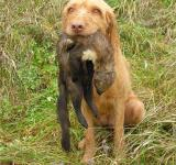 Free Photo - Wirehaired Vizsla