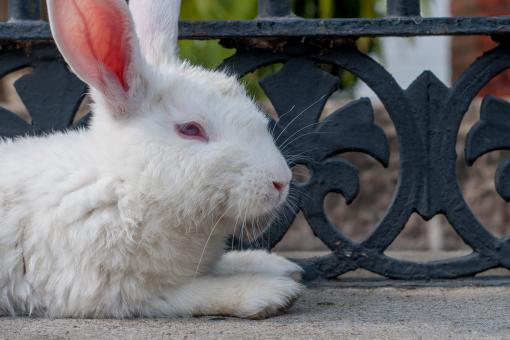 White Rabbit - Free Stock Photo