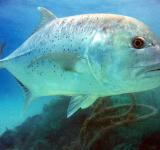 Free Photo - Giant Trevally