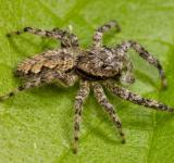 Free Photo - Jumping Spider