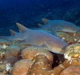 Free Photo - Nurse Sharks