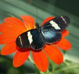 Free Photo - Sara Longwing on the Flower