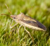 Free Photo - Stink Bug