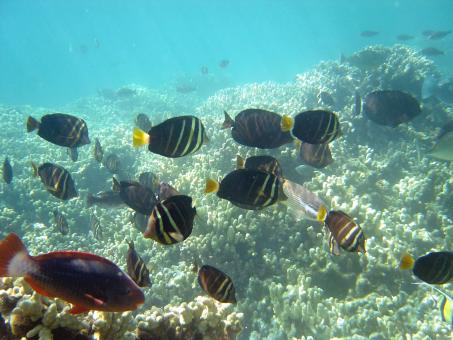 Tang Surgeonfish - Free Stock Photo