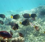 Free Photo - Tang Surgeonfish
