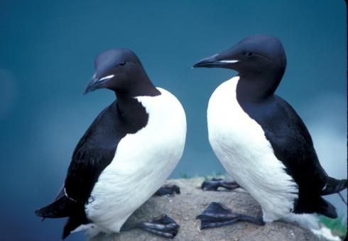 Thick Billed Murres - Free Stock Photo