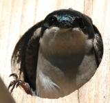 Free Photo - Tree Swallow