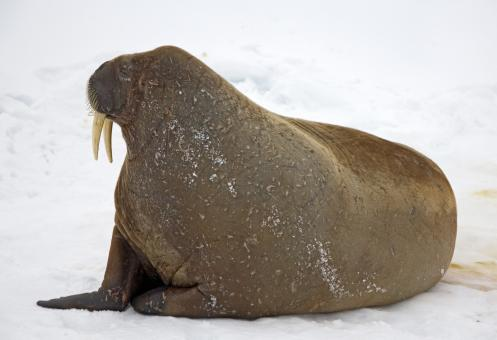 Walrus on the Snow - Free Stock Photo