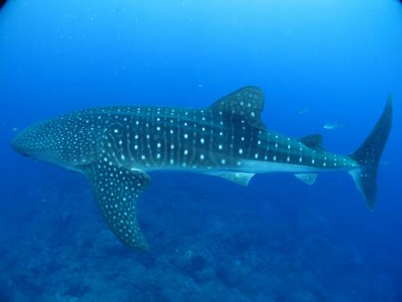 Whale Shark in the Ocean - Free Stock Photo