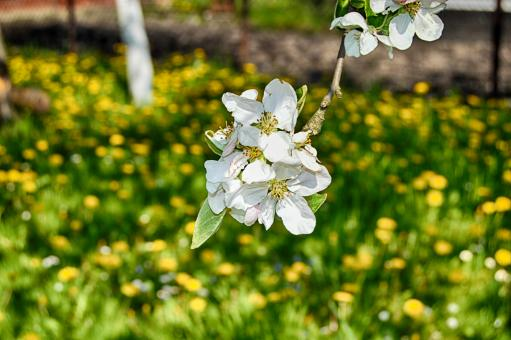 Apple blossom in the garden - Free Stock Photo