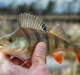 Free Photo - Perch fish in hand