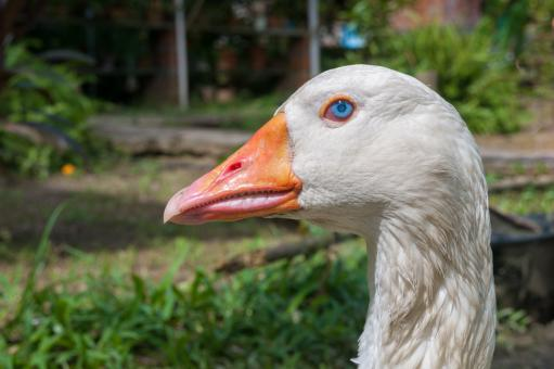 White Goose - Free Stock Photo