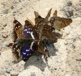Free Photo - Purple Emperor