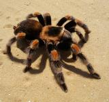 Free Photo - Tarantula Spider
