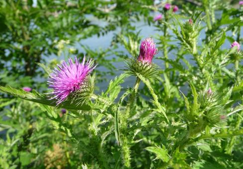Welted Thistle - Free Stock Photo