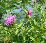 Free Photo - Welted Thistle