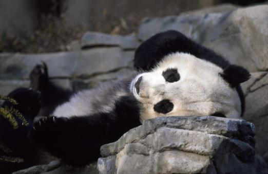 Panda Sleeping - Free Stock Photo
