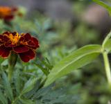 Free Photo - Red Tagetes