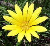 Free Photo - Gazania Flower