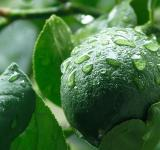 Free Photo - Unripe Lemon