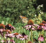 Free Photo - Monarch Butterfly on Flower