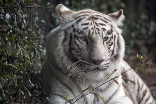 White Tiger - Free Stock Photo