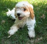 Free Photo - Cavapoo