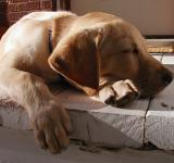 Free Photo - Sleeping Dog