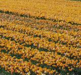 Free Photo - Flower Field