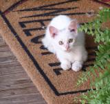 Free Photo - White Kitty